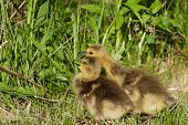 picture of mother goose  - Cute pair of cackling geese is eating - JPG