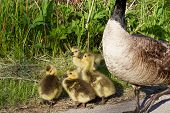 foto of mother goose  - Young goose is snitching on someone to his mom - JPG