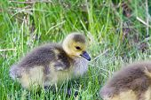 foto of mother goose  - Chick of the cackling geese close - JPG