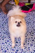 picture of pomeranian  - Cute white pomeranian barking Dog , pet ** Note: Soft Focus at 100%, best at smaller sizes - JPG