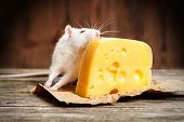 image of rats  - Pet rat with a large piece of cheese - JPG