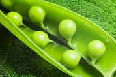 stock photo of green pea  - disclosed several pods of green peas on a green leaf textural - JPG