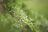 picture of juniper-tree  - Macro view of vibrant green juniper branch with green background shallow DOF - JPG
