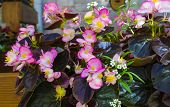 image of begonias  - beautiful background of flowers begonias nature flora - JPG