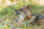 pic of jackal  - European golden jackal  - JPG