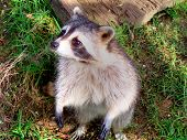 Cute Racoon under a tree poster