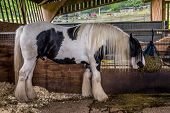 picture of horses eating  - Beautiful white horse eating hay in his stable on a farm - JPG