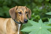 image of hound dog  - Hound dog is looking outdoors among the green forsest leaves - JPG