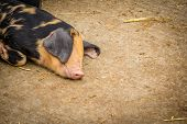 picture of pig head  - Pig sleeping on the ground in a barn  - JPG