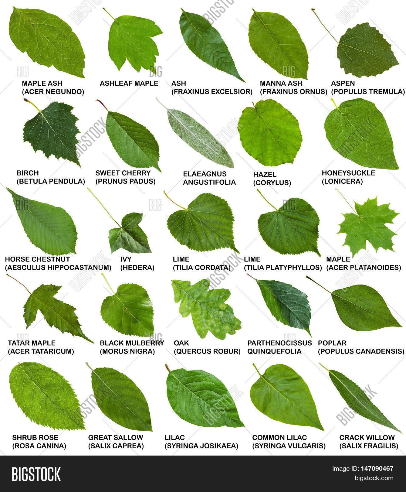 Green leaves trees shrubs names image photo bigstock green leaves of trees and shrubs with names sciox Images