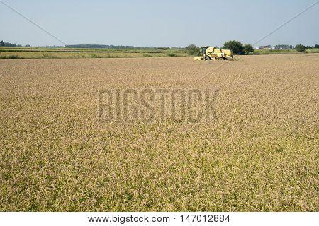 Mortara (PV) Italy - September 12 2016 - Harvesting and threshing rice in Lomellina