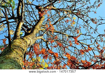 Autumn view of colorful autumn rowan berry tree. Rowan tree with red leaves against the clear autumn sky- autumn landscape in sunny weather. Picturesque view of autumn colored nature. Autumn landscape