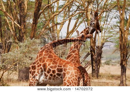 Two Giraffe Fighting