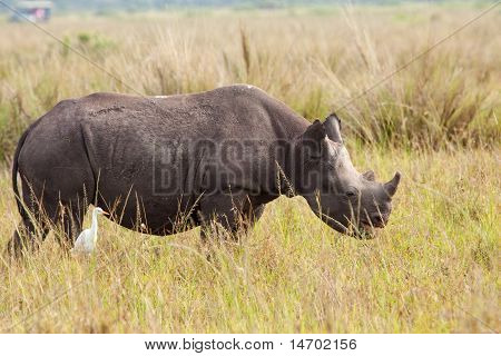 Black Rhinoceros Calf