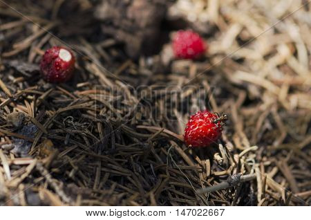 Ant eating over wild strawberry in an anthill