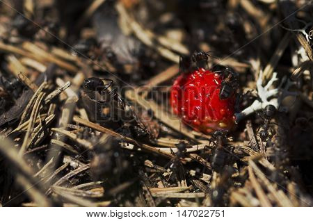 Anthill in the forest and wild strawberry