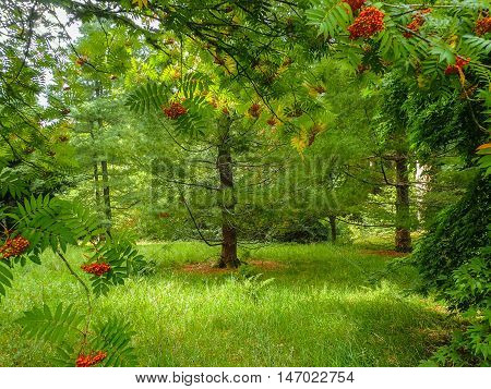 Beautiful woodland scene of sun shining on rowan trees with their red berries and soft green grass