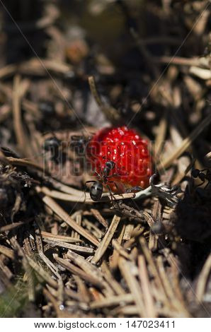 Horizontal shot of wild strawberry and ants