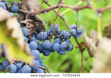 Clusters of Merlot and leaves in Bulgarian vineyard