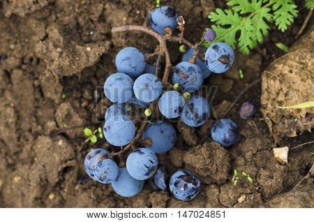Cluster on a ground in a vineyard