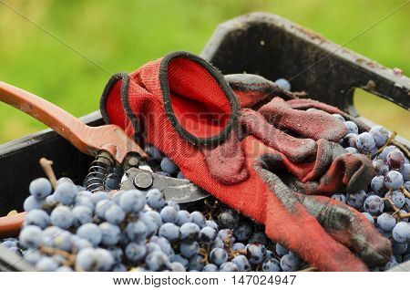 Red gloves and old secateurs in a dirty crate with Merlot clusters