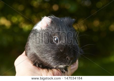 hand holding guinea pig on green blurred background