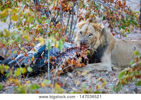 Male lion eating a buffalo carcass in safari park