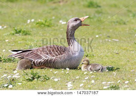 Mother greylag goose protecting her little sleeping goslings