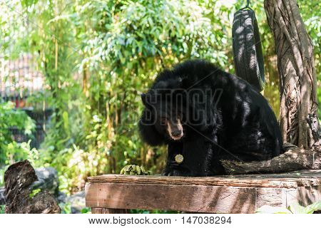 Asiatic black bear (Ursus thibetanus) eating corn.