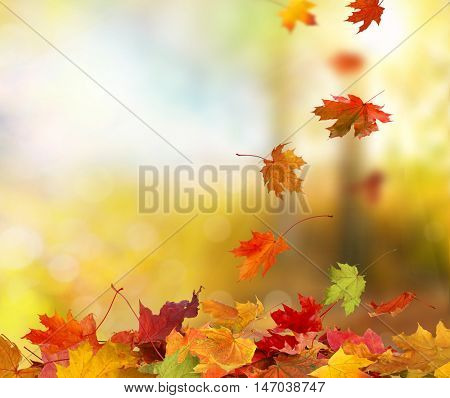 Falling autumn maple leaves natural background.Colorful foliage in the park.
