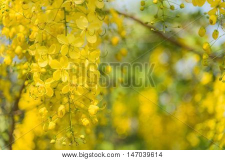 Cassia fistula tropical yellow flower with blur background