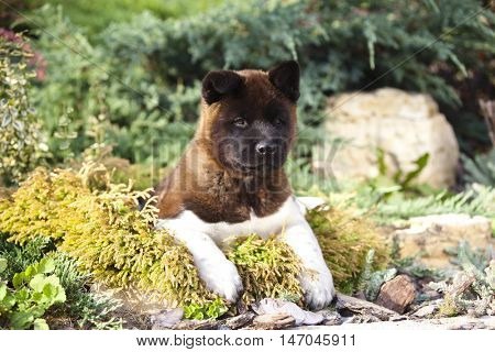 American Akita puppy in the grass