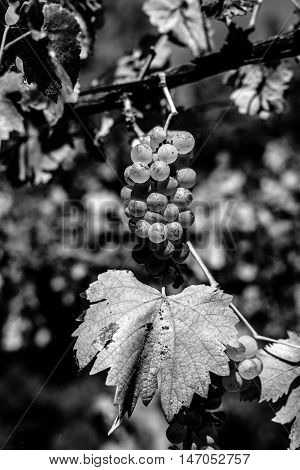 grapes on the vine before the harvest black and white photography