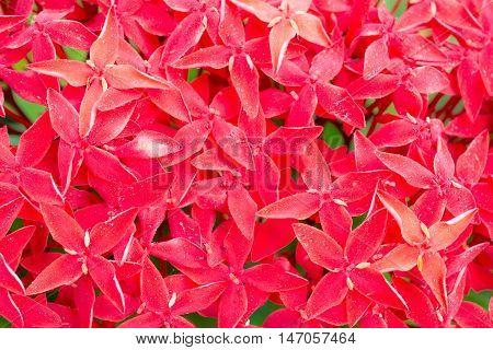 background Close up  red ixora flower .