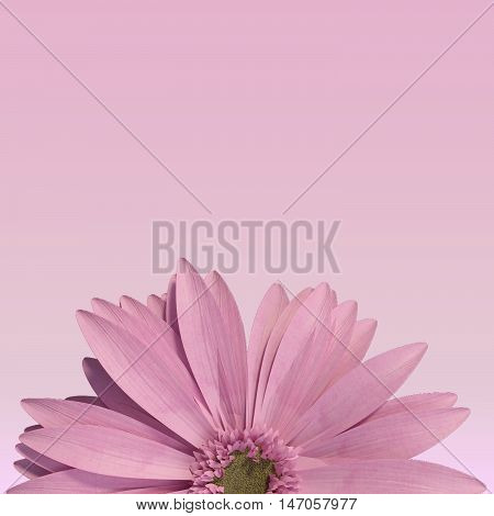 3D rendering of half pink gerbera daisy on pink background