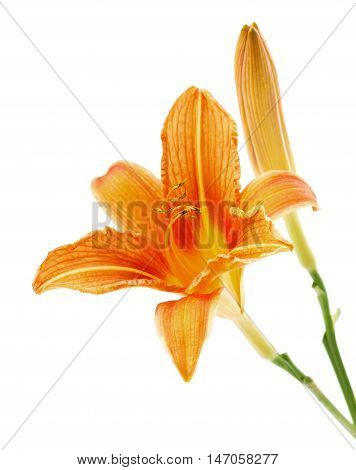 Lily or daylily flower isolated on white background.