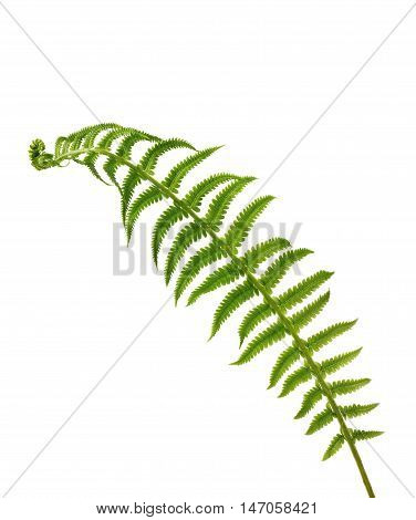 Leaf of fern isolated on white background for your design.