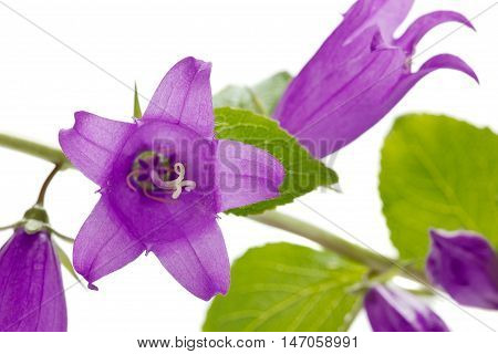 Campanula or bellflowers isolated on white background.
