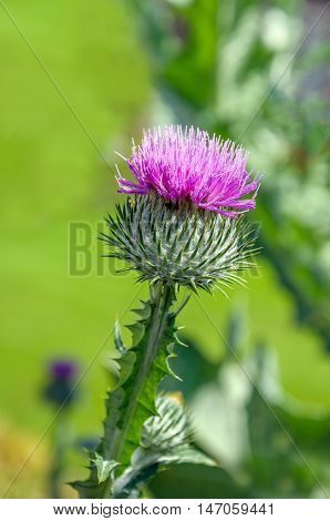 Closeup of a dark pink blossoming Scotch thistle or Onopordum acanthium plant growing in a city garden.