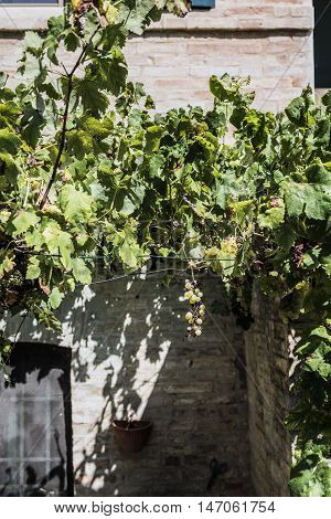 ripe grapes on the vine before the harvest