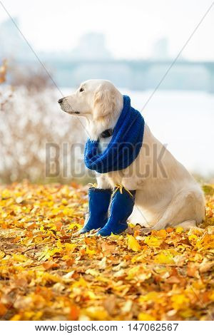 Autumn portrait of golden retriever junior wearing scarf and boots