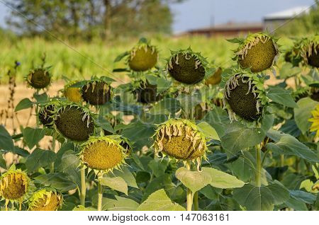 Head of  sunflower or Helianthus annuus  with seeds growing in sunflower field, Zavet, Bulgaria