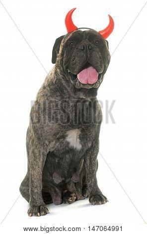 bull mastiff horned in front of white background