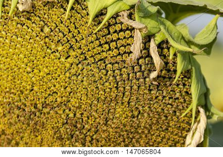 Close-up of one head of  sunflower or Helianthus annuus  with seeds growing in sunflower field, Zavet, Bulgaria