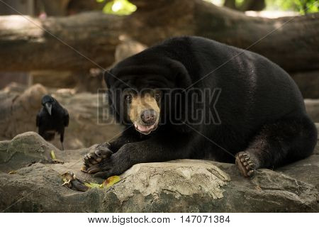 Malayan sun bear, Honey bear, lays down on a rock with an eastern jungle crow in a background