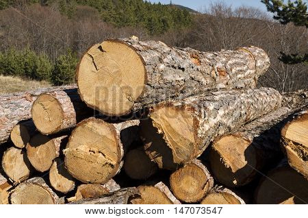 Timber of coniferous without marks in the Rhodope Mountain