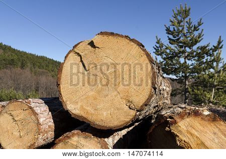 Coniferous timber in the Rhodope Mountain. Deforestation