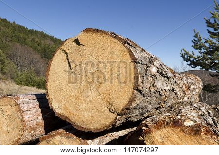 Coniferous material in a stack and beautiful blue sky
