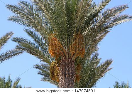 in the garden, in Israel ripe edible fruit of the date palm