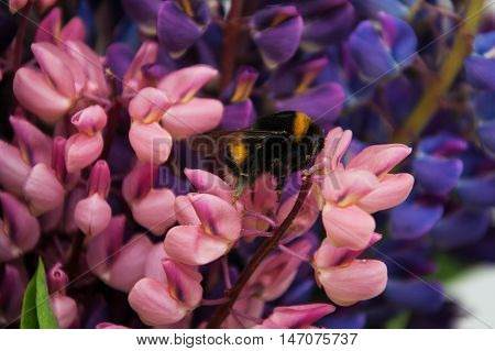Lupine Flowes  And Bumblebee